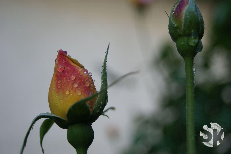 Blumen-Fotografie | Rot-gelbe Rose | 2010