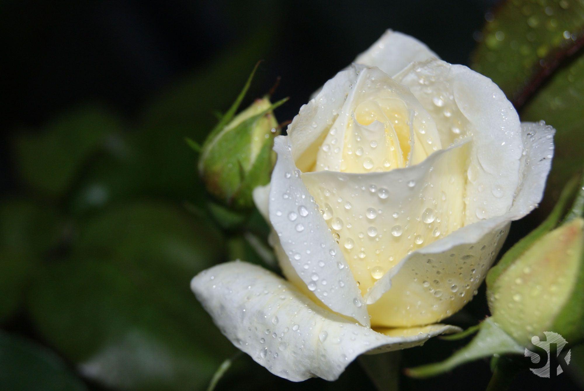 Blumen-Fotografie | Rosa-gelbe Rose| 2010